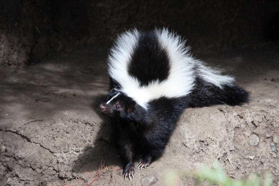Removal of Skunk Smell
